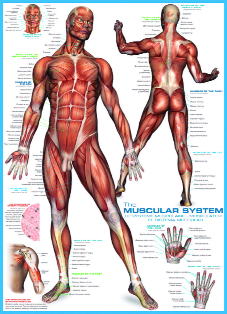 The Human Body 1000 PC Jigsaw Puzzle