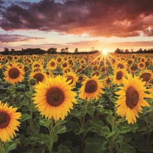 field-of-sunflowers-1000-pc-jigsaw-puzzle