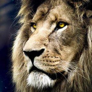 Lions Portrait 1500 Piece Jigsaw Puzzle