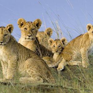 Lion Babies 500 Piece Puzzle - Ravensburger