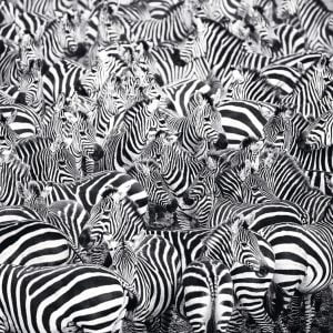 Zebra Challenge 500 Piece Puzzle - Ravensburger