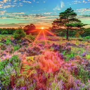 Heather at Sunset 500 Piece Jigsaw Puzzle