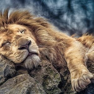 Sleeping Lion 1000 Piece Trefl Jigsaw Puzzle