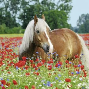 Horse in the Poppy Field 500 Piece Jigsaw Puzzle - Ravensburger