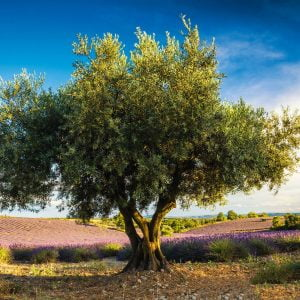 Olive Tree in Provence 1000 Piece Jigsaw Puzzle - Schmidt