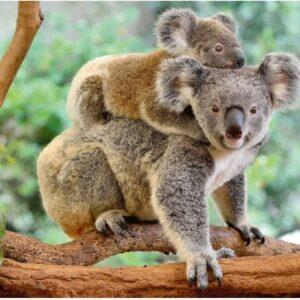 Koala Love 200 Piece Jigsaw Puzzle - Ravensburger