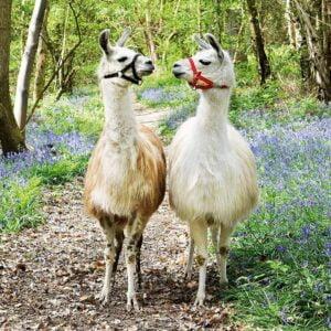 Llama Love 100 Piece Puzzle - Ravensburger
