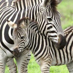 Zebra Love 300 Piece Puzzle - Ravensburger