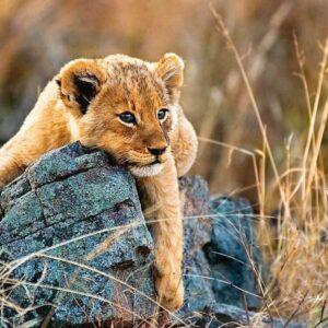 Little Lion 200 XXL Piece Puzzle - Ravensburger