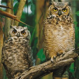 Owls 1000 Piece Puzzle - Trefl
